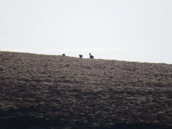 Blackhouse: De beitet en god stund før et eller annet skremte de. Og de forsvant over fjellet og til neste dal.